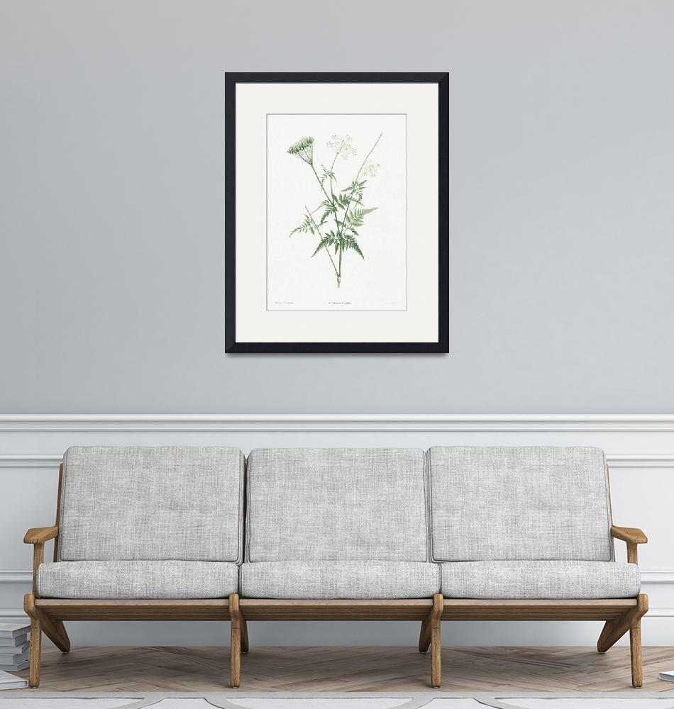 """""""Turnip-Rooted Chervil Vintage Botanical""""  by FineArtClassics"""