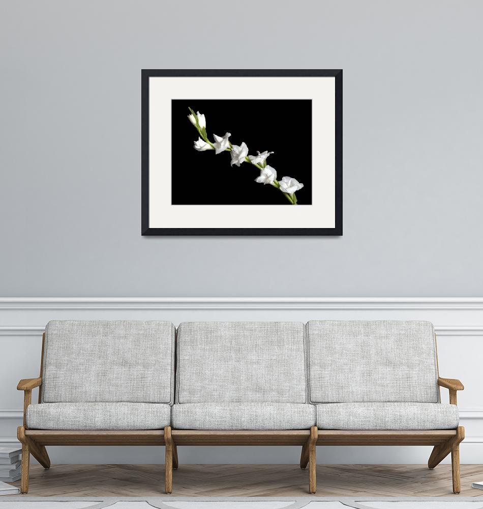 """White Gladiola""  (2007) by ToddMortonPhotography"