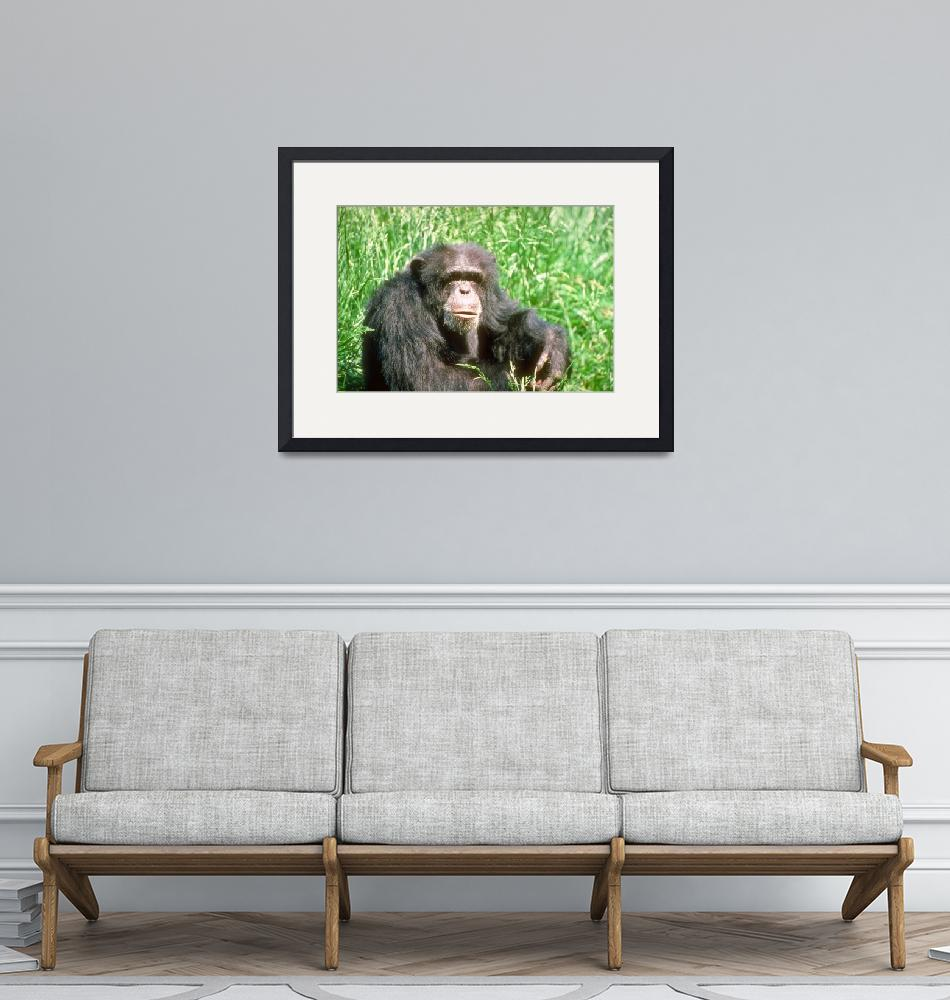 """""""Endangered Adult Chimpanzee Sitting in Sunny Grass""""  by ArtLoversOnline"""