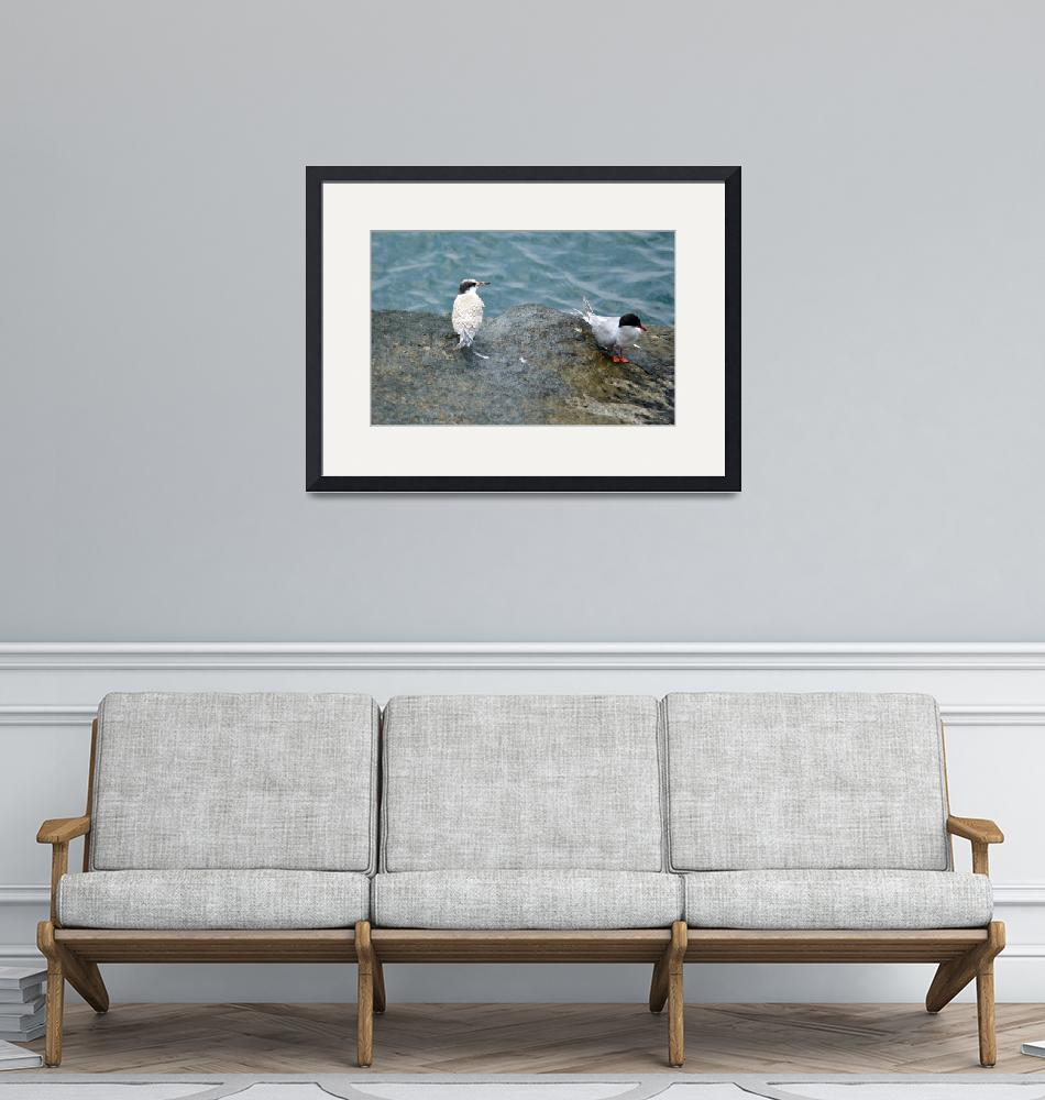 """""""Common Terns"""" (2012) by WildAboutNaturePhotography"""