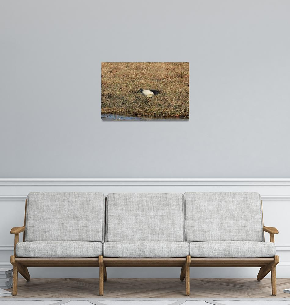 """""""African Sacred Ibis  5357""""  (2013) by rayjacque"""