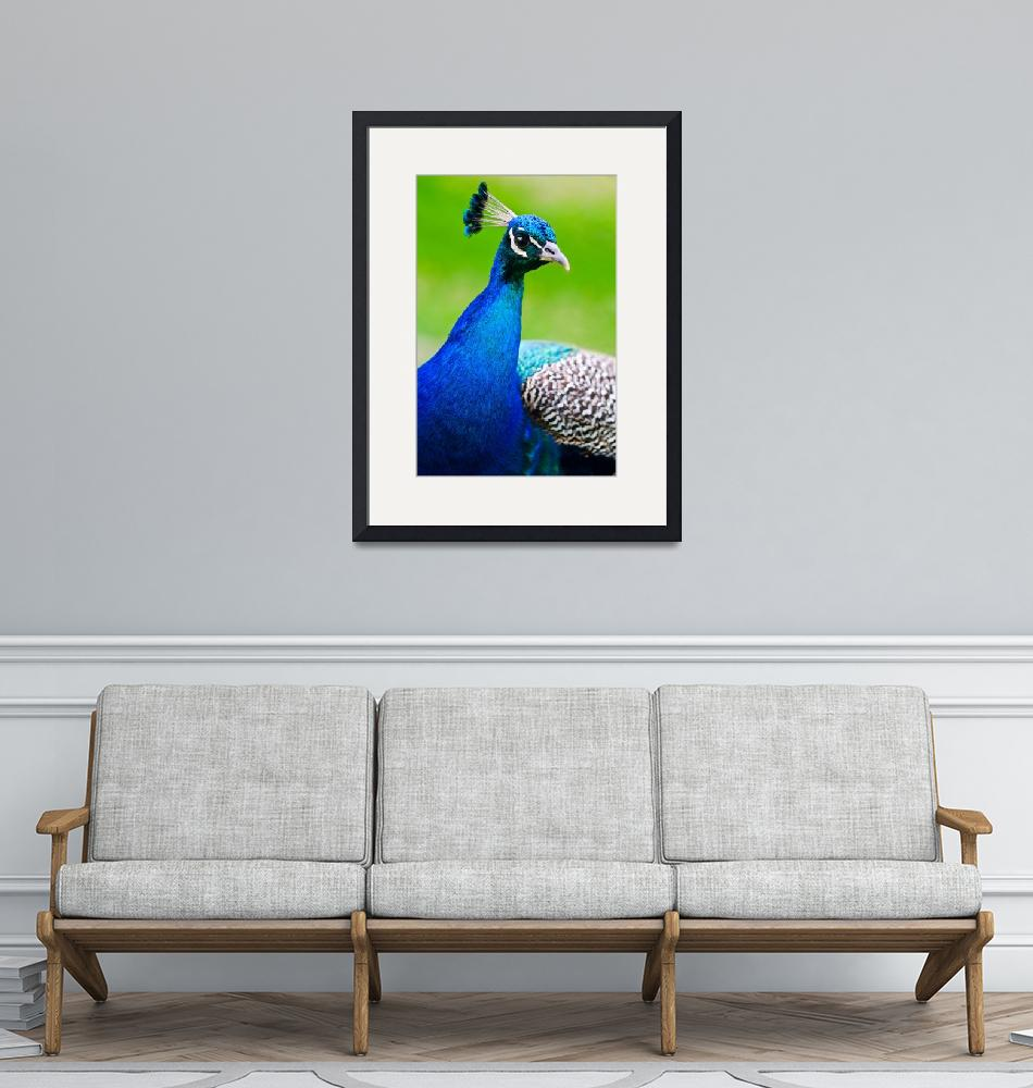 """""""Beautiful and pride peacock on a lawn""""  by 3523studio"""