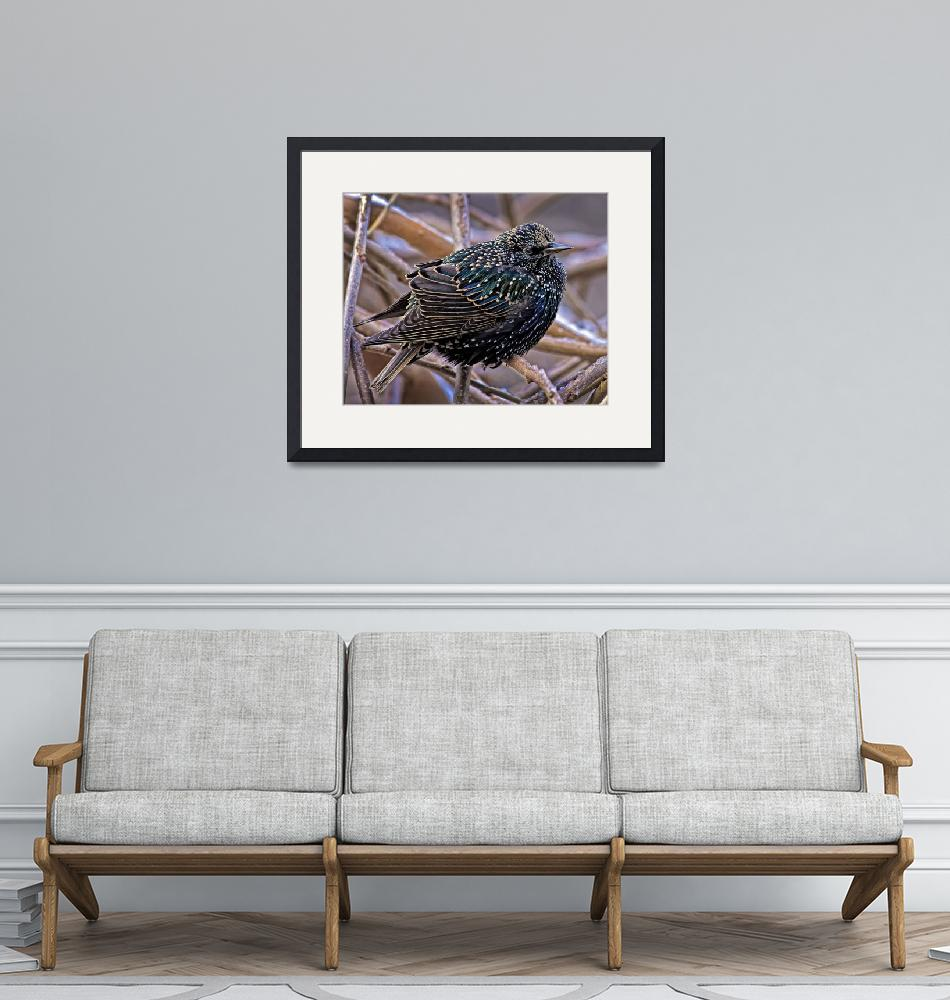 """""""European Starling in Winter Plumage.""""  by ROBERTSCOTTPHOTOGRAPHYY"""