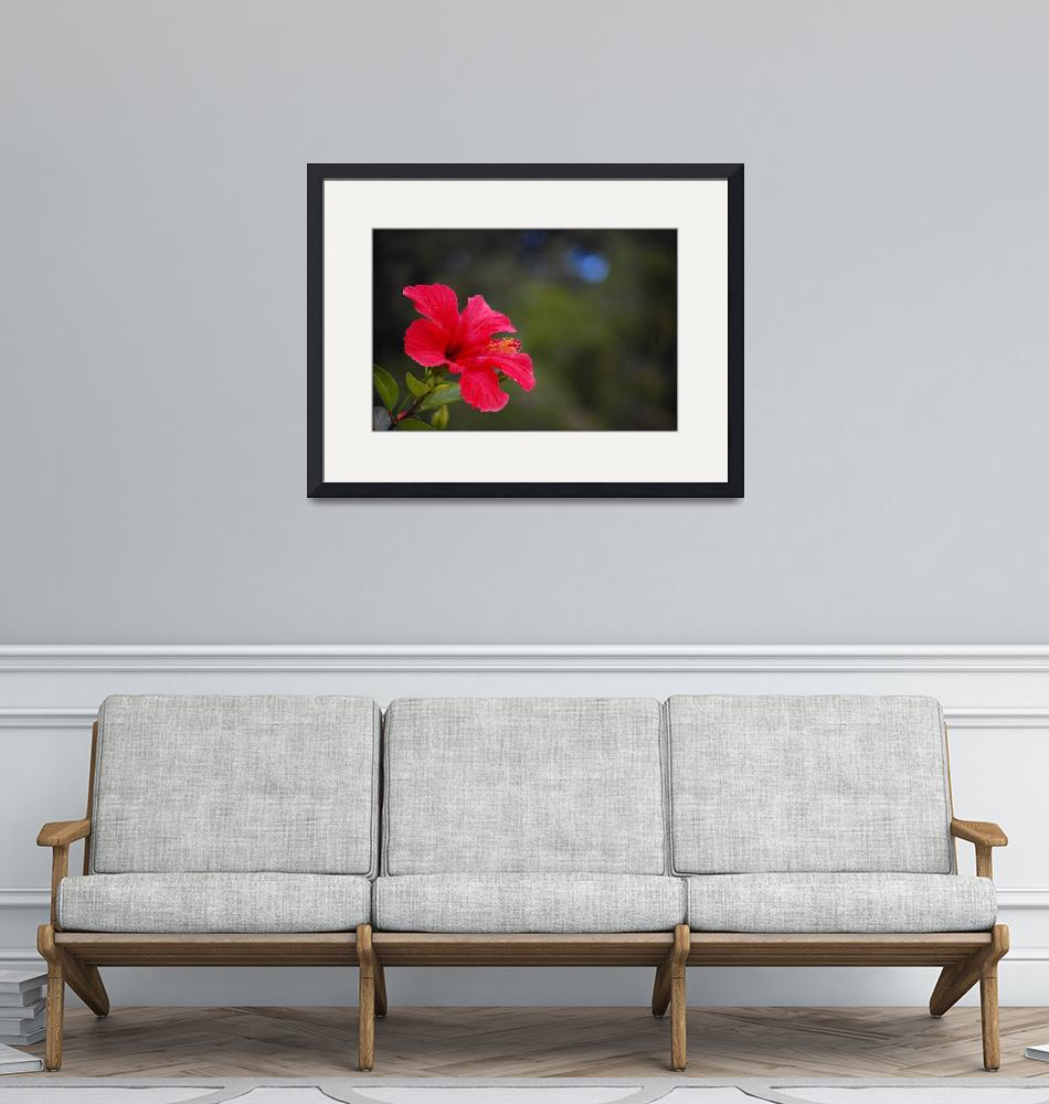 """""""Red Hibiscus""""  (2009) by aroundtheisland"""