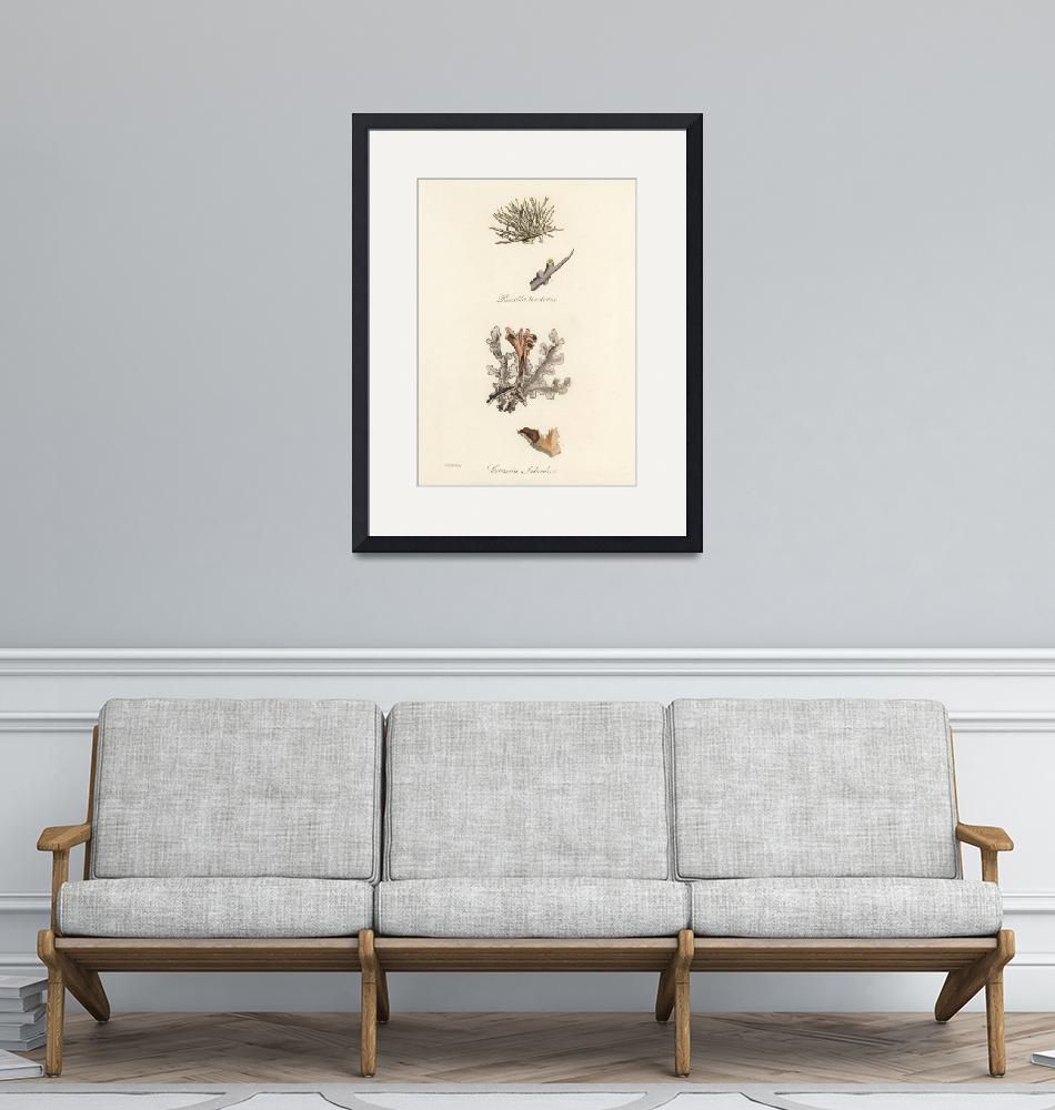 """""""Vintage Botanical Iceland Moss""""  by FineArtClassics"""