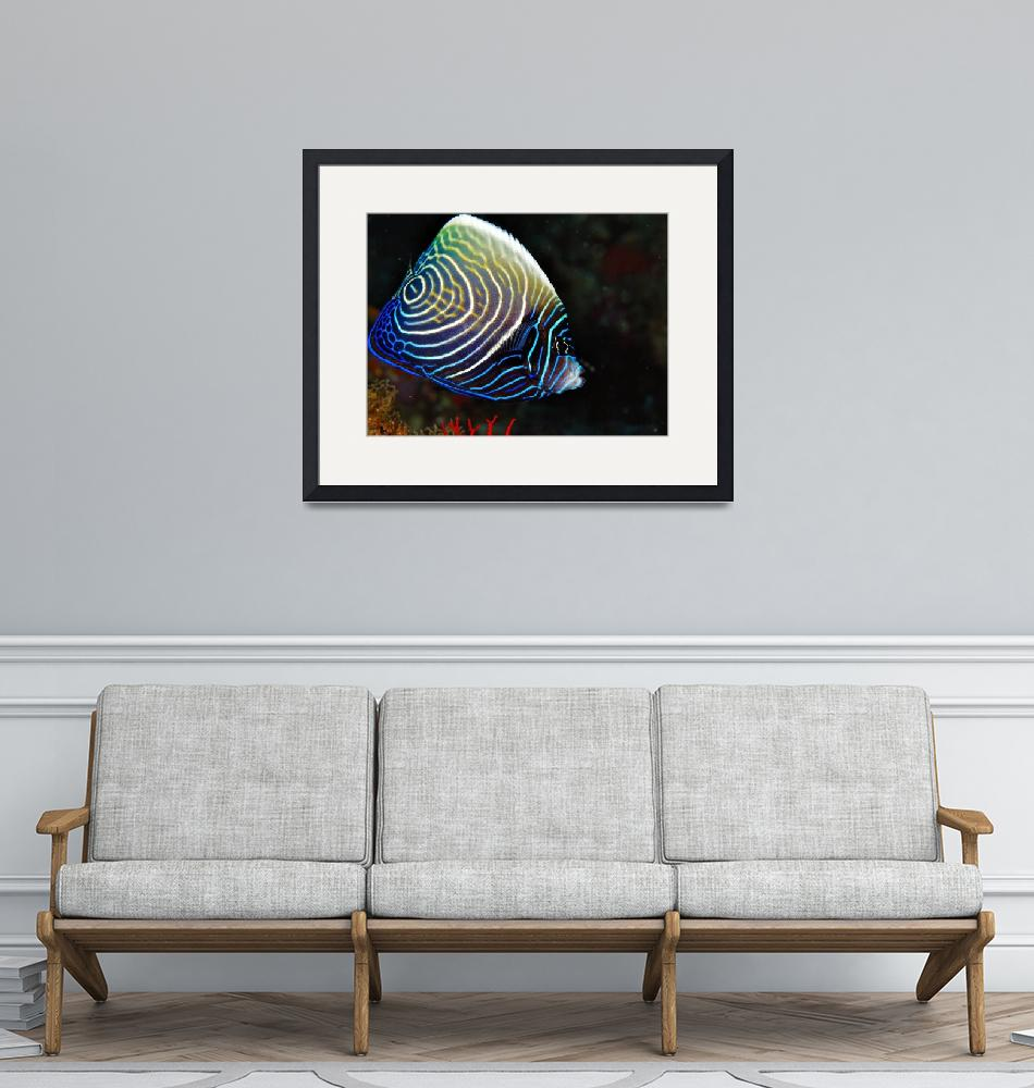 """""""Juvenile Emperorfish, Changing""""  (2006) by JoaoPonces"""