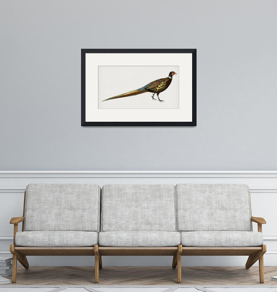 """Vintage Illustration of Ring-necked pheasant (Phas""  by motionage"