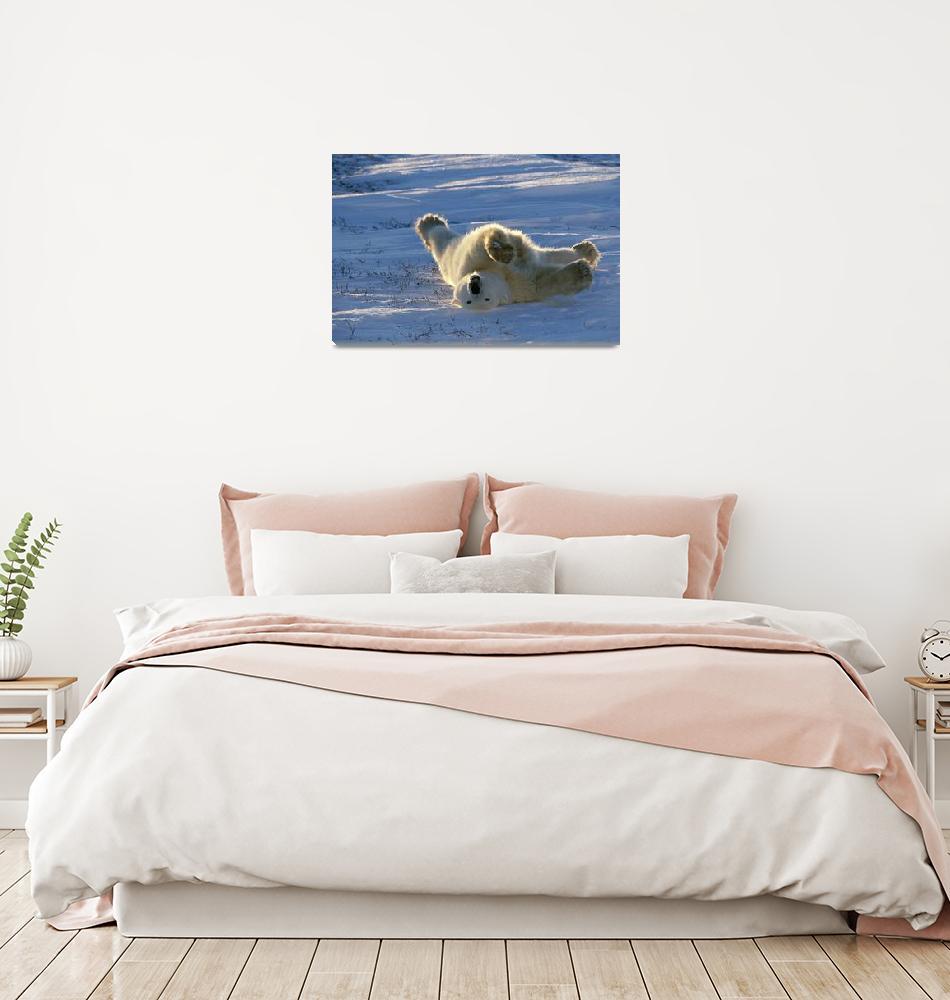 """Polar Bear Lying in Snow Canada Spring Wapusk NP""  by DesignPics"