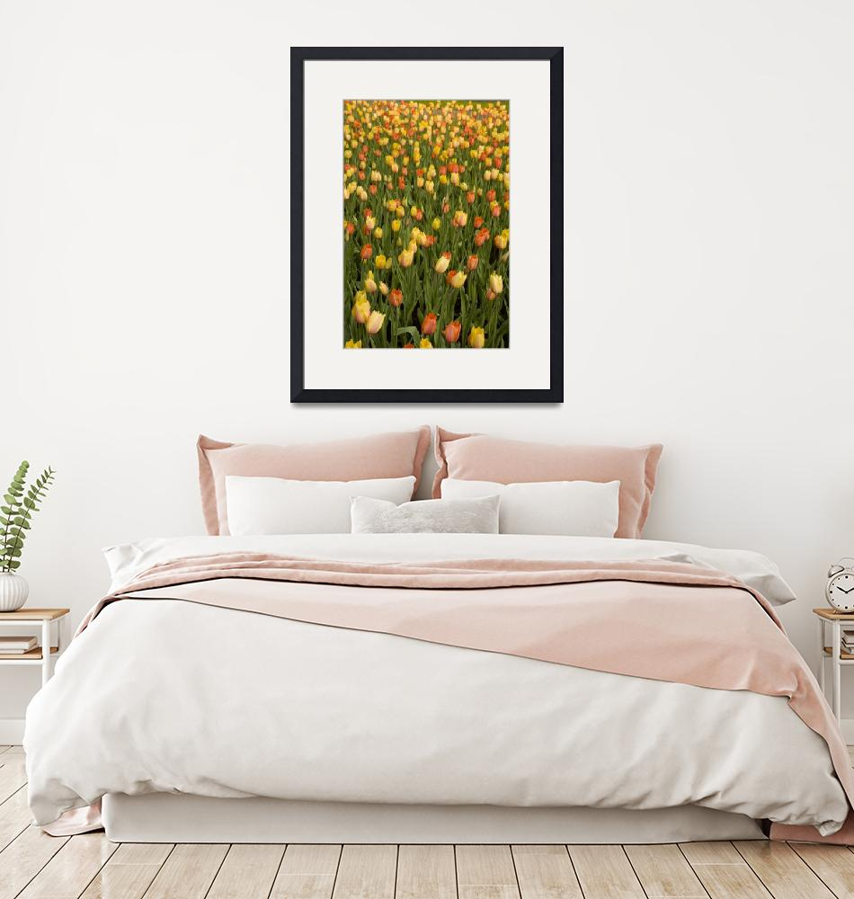 """""""Field of peach tulips""""  (2007) by cpc"""