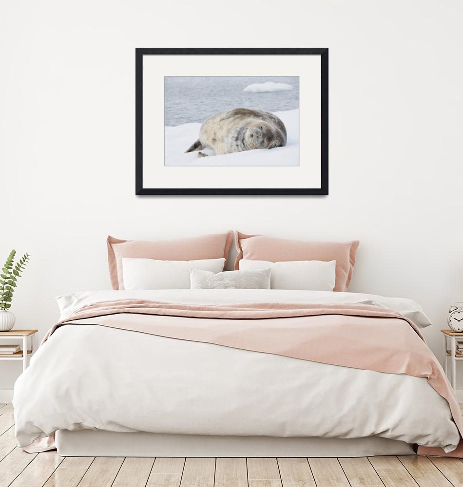 """""""Weddell Seal Dreaming""""  (2009) by vanessaharris"""