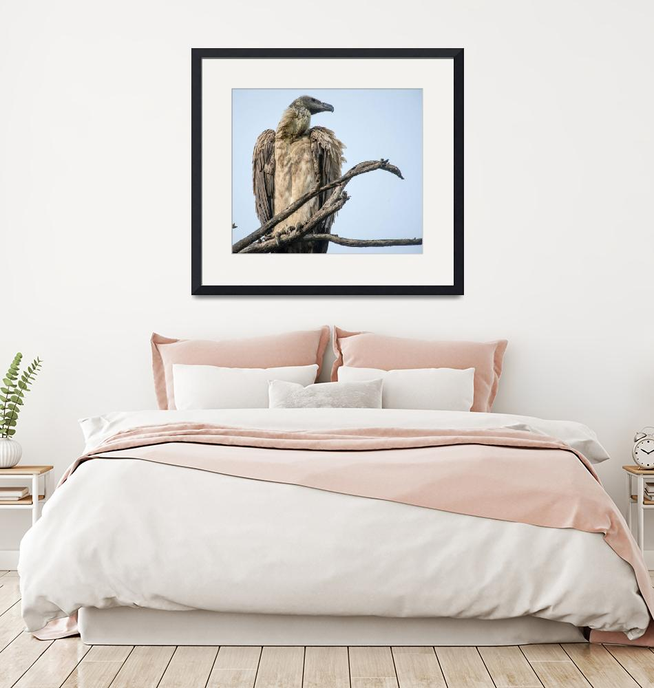 """""""African White Backed Vulture""""  (2014) by SederquistPhotography"""