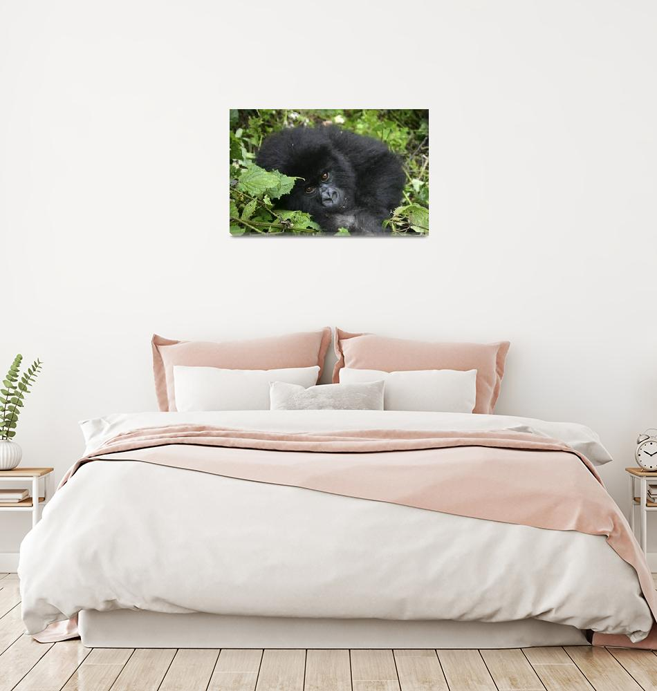 """Rwanda 2004 Baby Silverback Gorilla gloriousjourne""  by gloria_garrett"