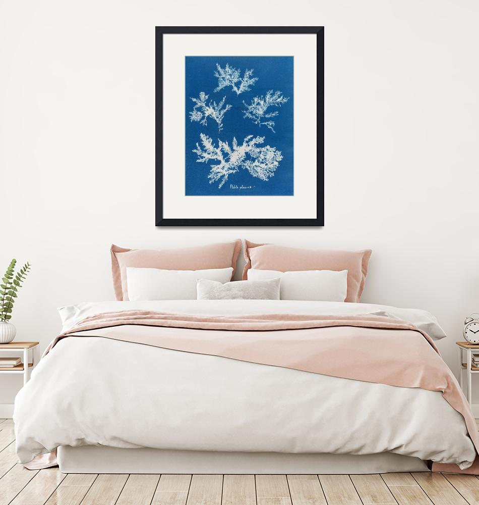 """Anna Atkins~Ptilota plumosa - Cyanotype print from""  by Old_master"