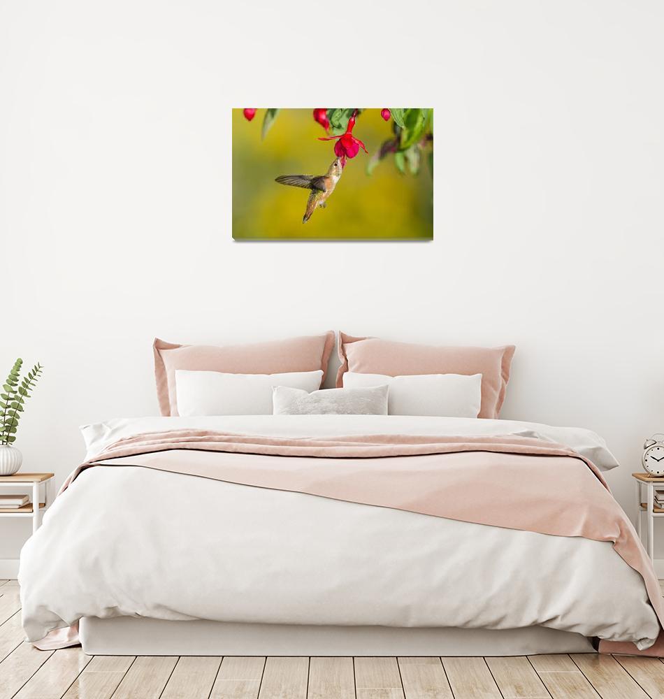 """Rufous Hummingbird [Selasphorus rufus]_BiHu-2950""  by PronghornPix"