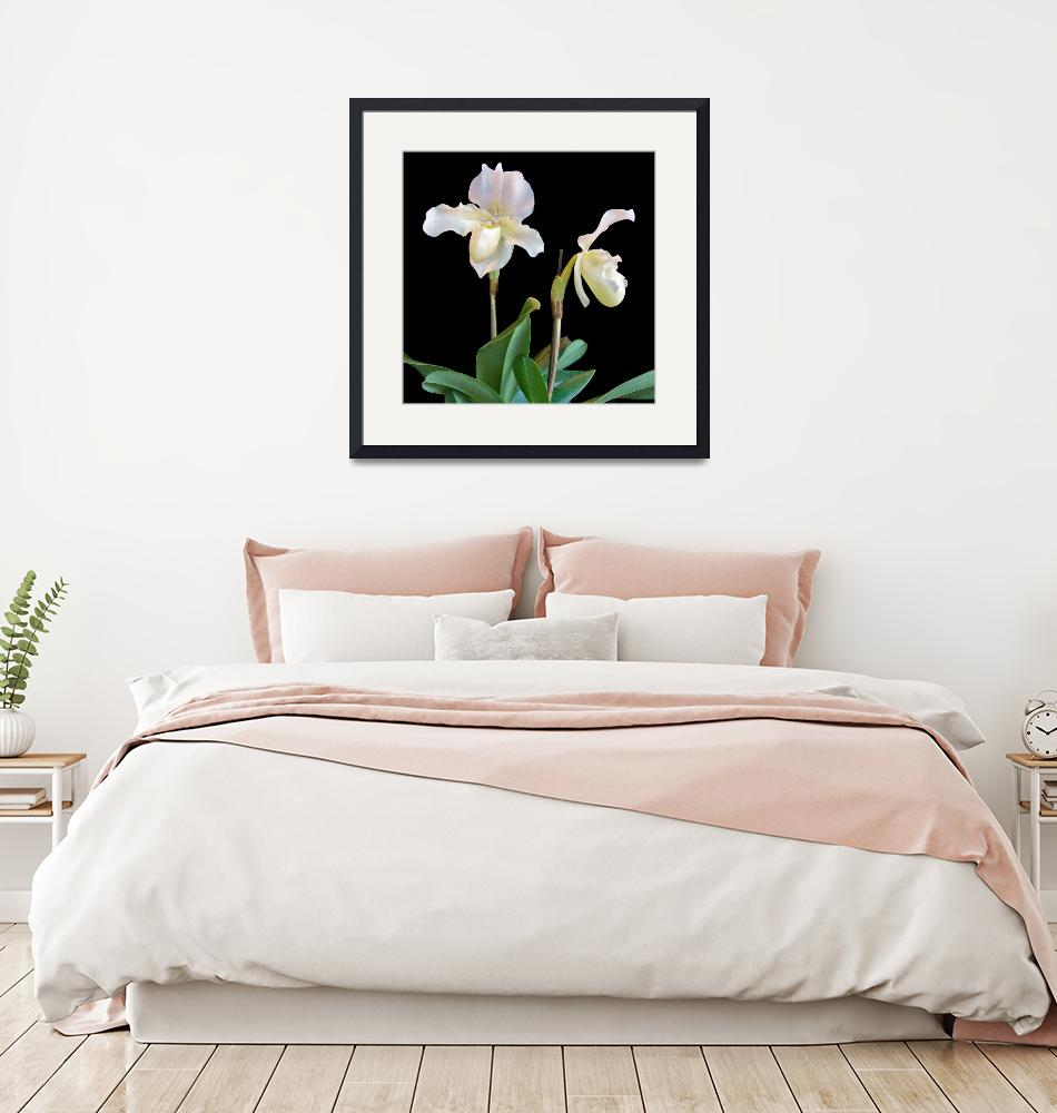 """""""Orchid Paphiopedilum Rosy Dawn Superbum""""  (2009) by ImageArt-Photography"""