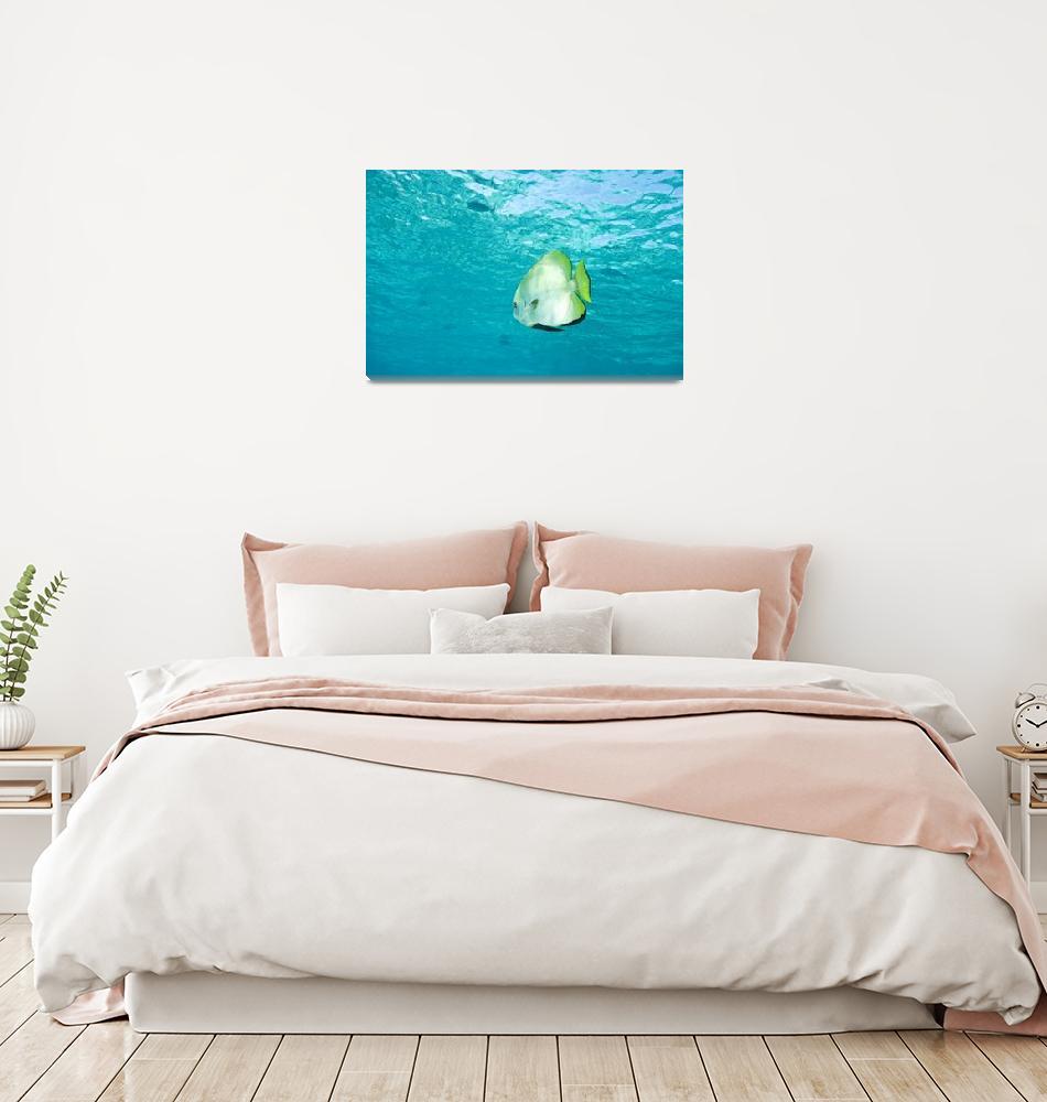 """""""Batfish In Water""""  by DesignPics"""