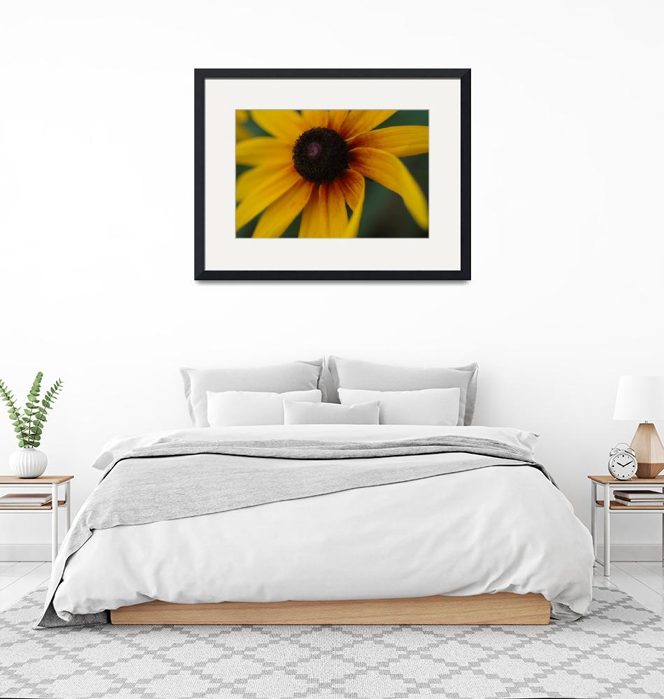 """""""Black-Eyed Susan"""" by bonnerphotographic"""