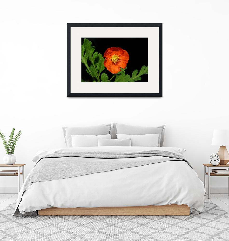 """Orange Poppy""  (2009) by luckhurstphotography"