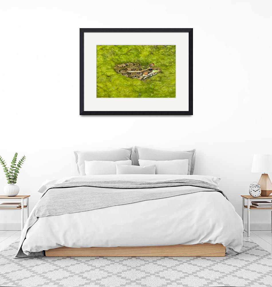 """A Rio Grande Leopard Frog Sitting On A Bed Of Alga""  by DesignPics"