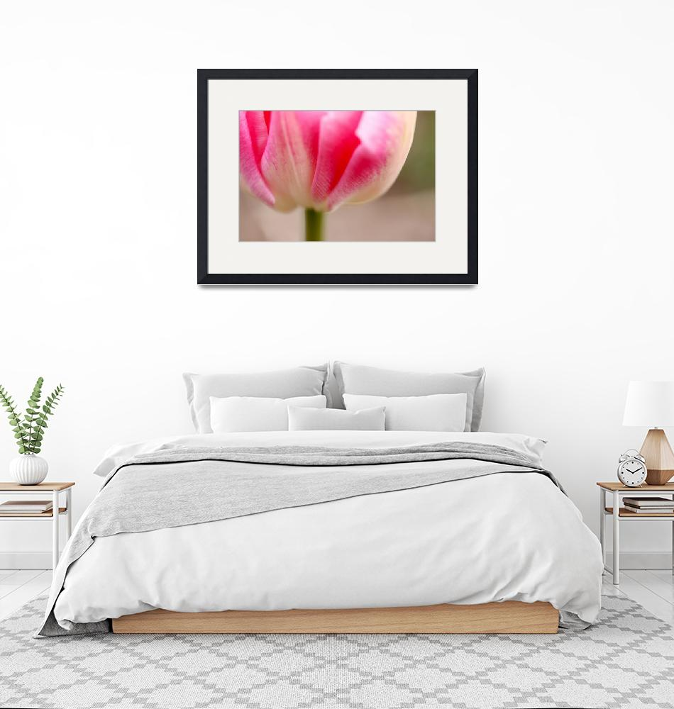 """""""Pink tulip""""  (2010) by thegardenpathphotography"""