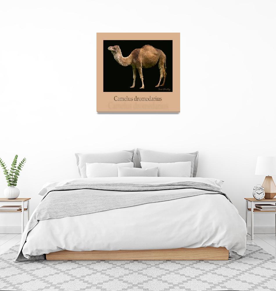 """""""Camelus dromedarius""""  (2008) by DavidBleakley"""