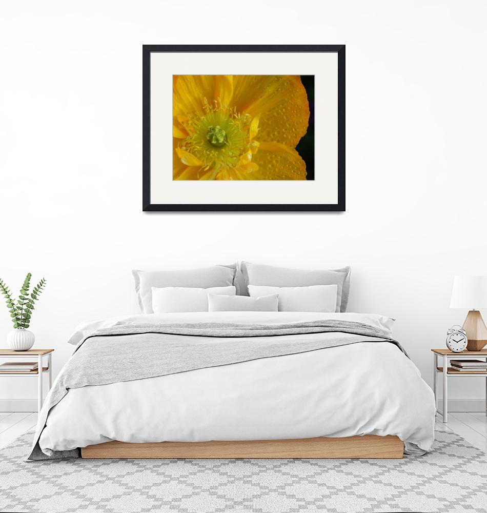 """Yellow Iceland Poppy""  (2005) by KatRosePhotography"