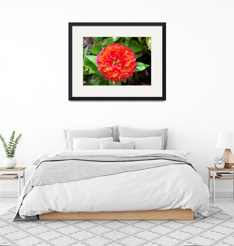 """""""Multi-Colored Zinnia""""  (2010) by feagans_photography"""
