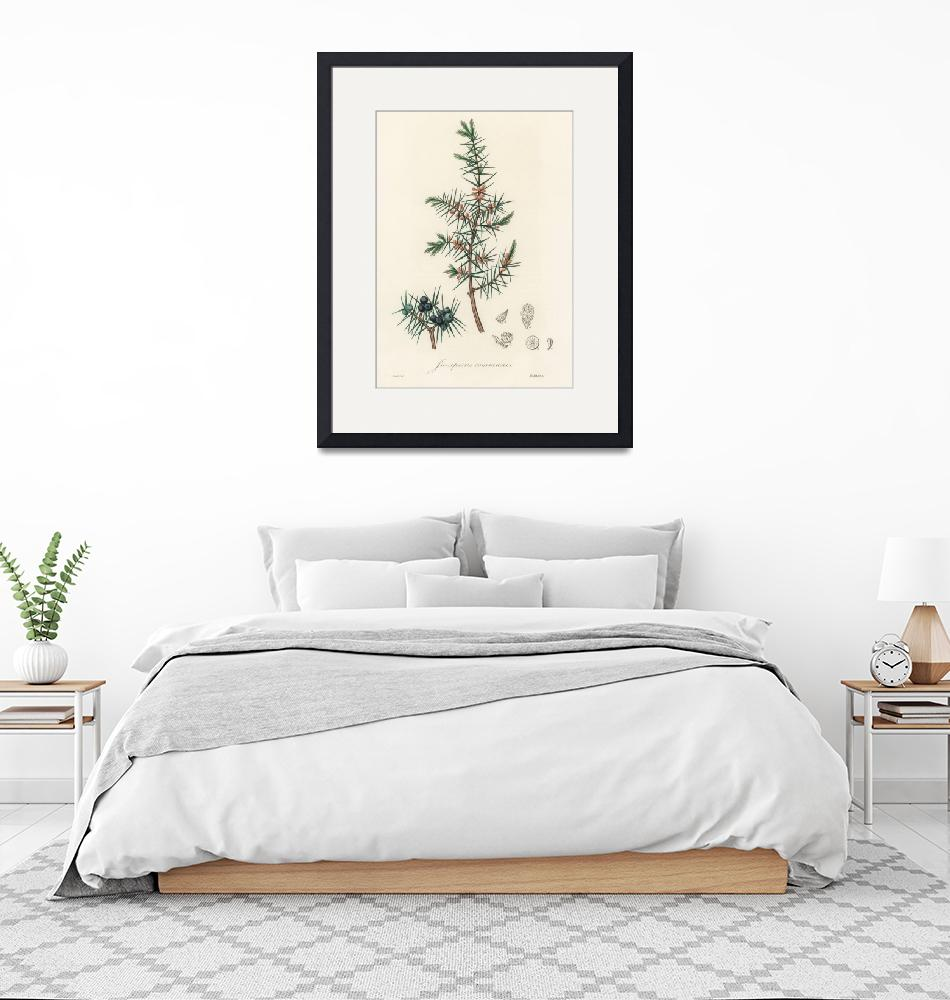 """Vintage Botanical Common Juniper""  by FineArtClassics"