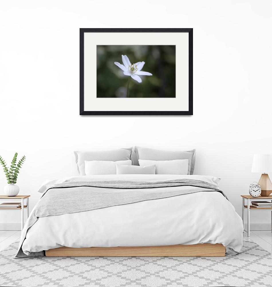 """""""Wood anemone""""  (2009) by mellting"""