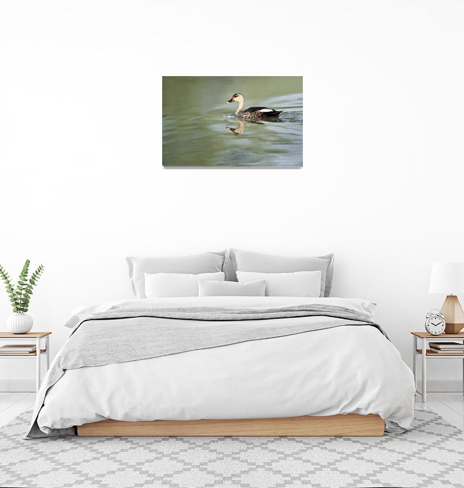 """Spot Billed duck Anas poecilorhyncha swimming in""  by Panoramic_Images"