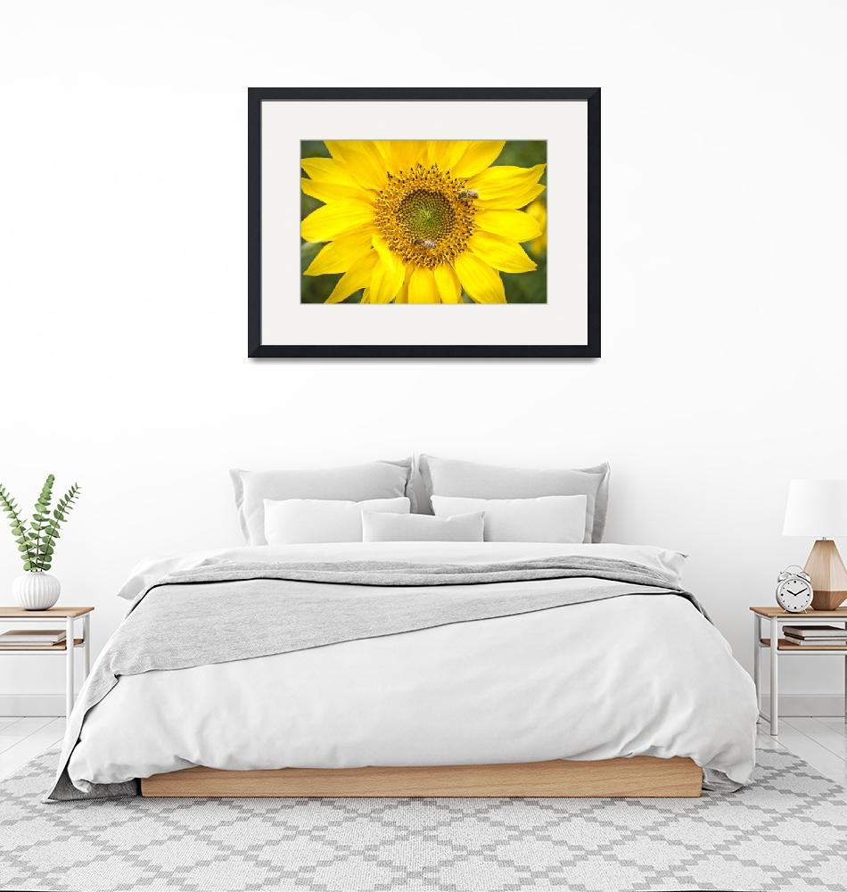 """Carolina Sunflower""  (2012) by adifferenteyephotography"