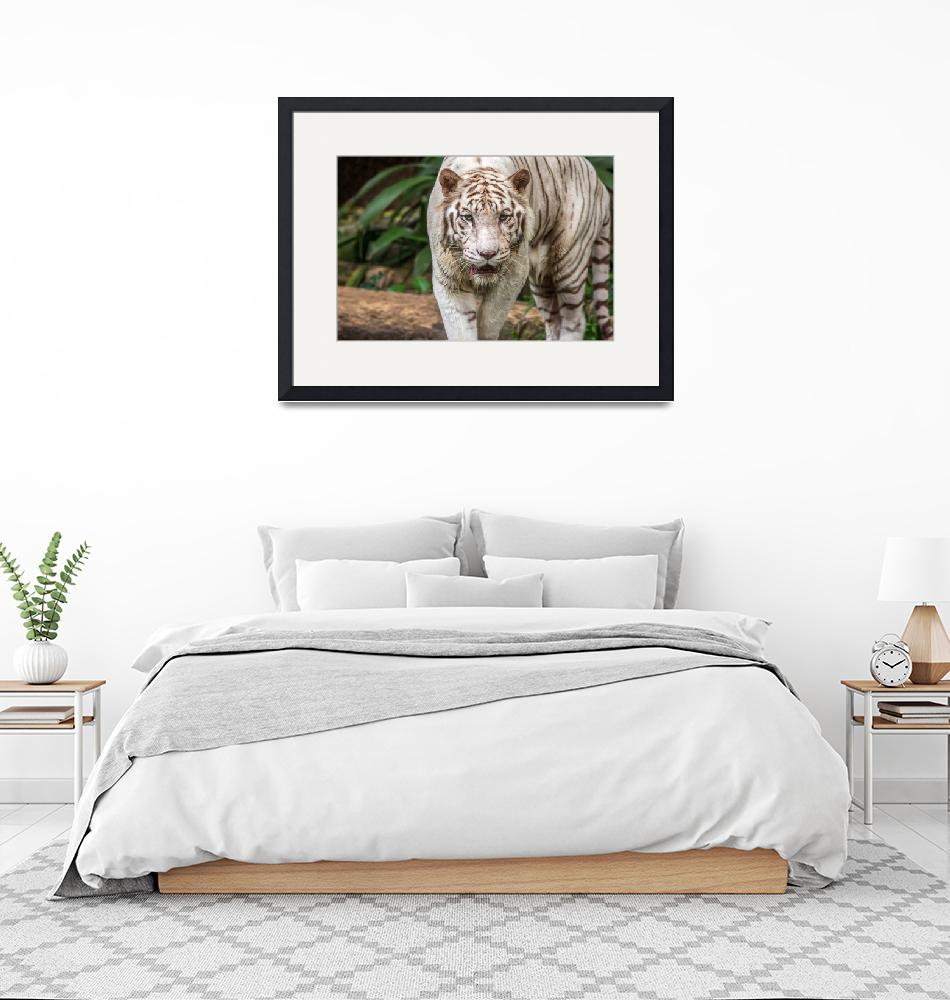 """""""White Tiger""""  (2014) by mjphoto-graphics"""