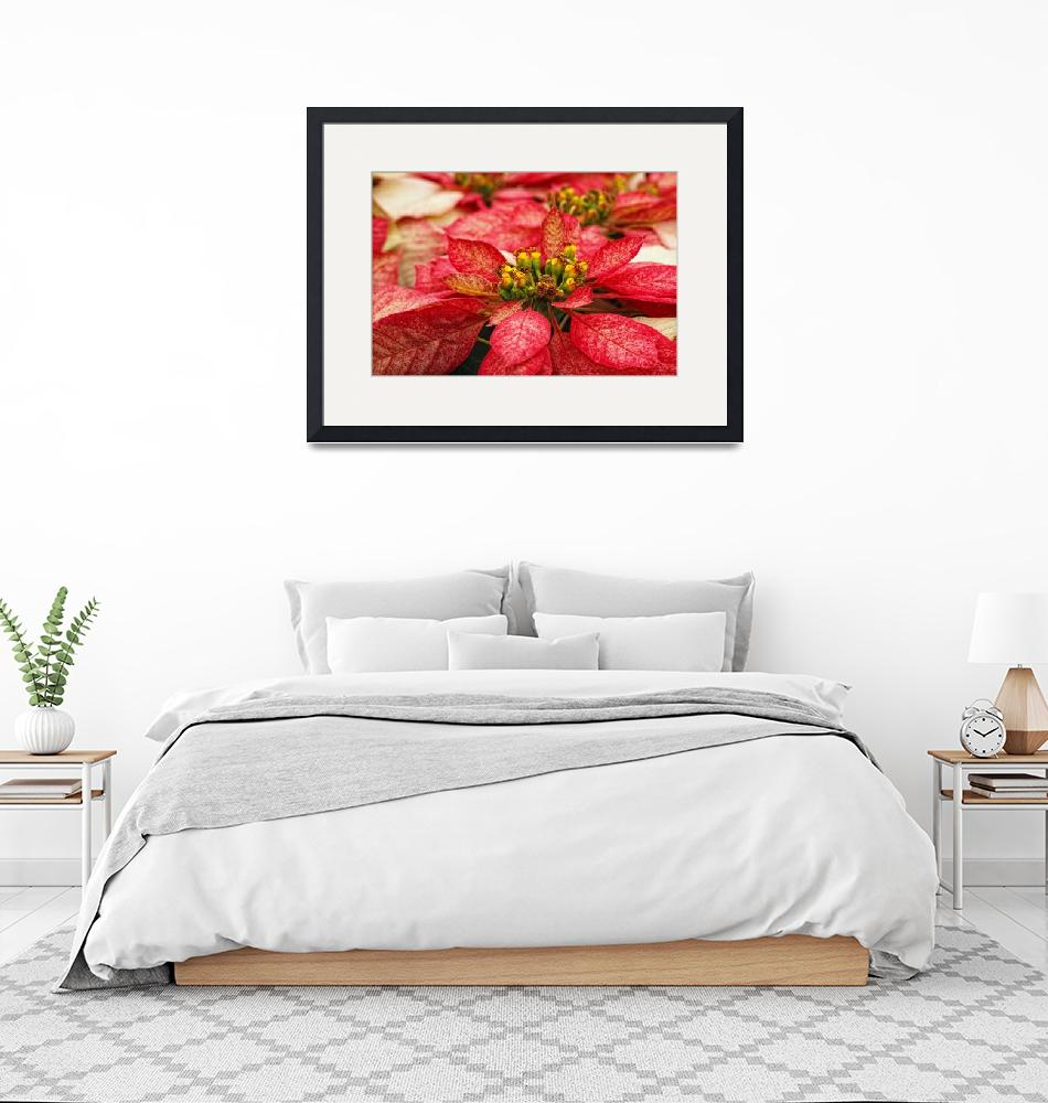 """""""Multi Colored Poinsettias""""  (2012) by DonnaPagakis"""