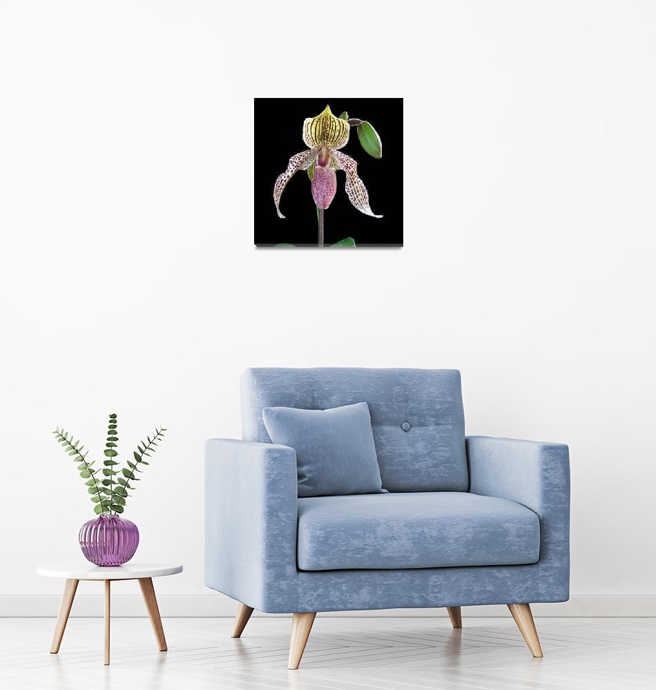 """""""Orchid Paphiopedilum Bellatulum x Transvaal"""