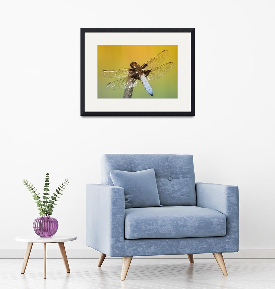 """""""Broad-bodied Chaser""""  by Inyunyyn"""