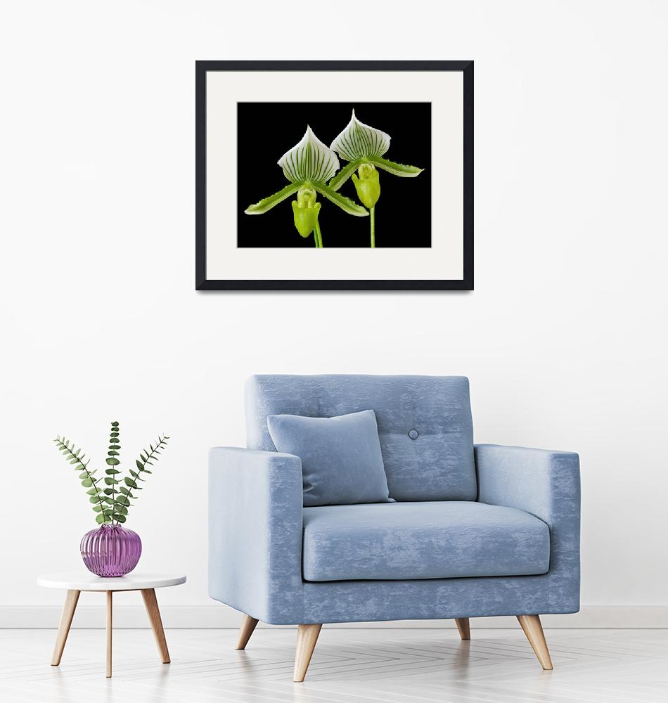 """""""Orchid Paphiopedilum Maudiae""""  (2009) by ImageArt-Photography"""