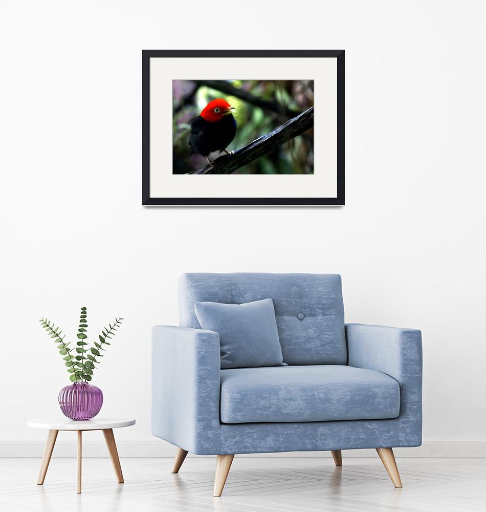 """Red capped Manakin""  by AnimalsbyDiDi"