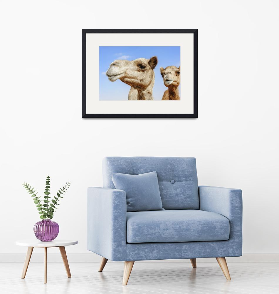 """""""Camels portraits""""  (2015) by DXB013"""