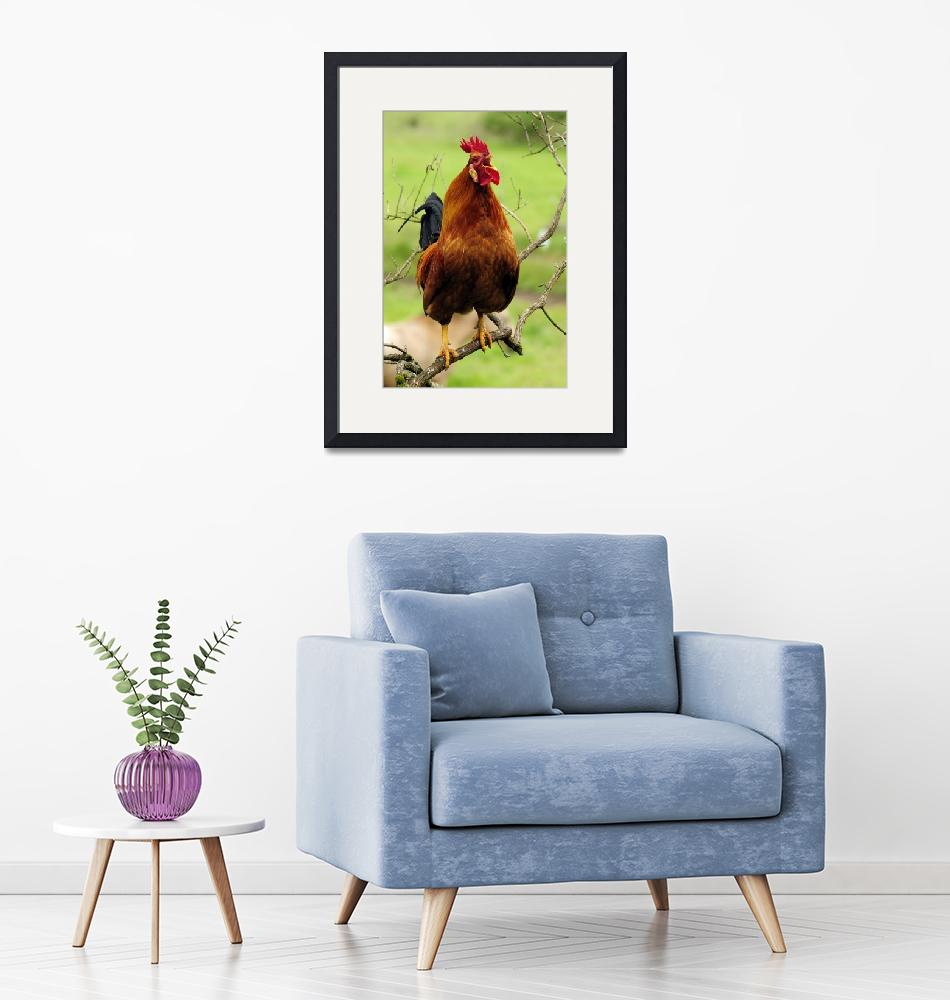 """""""Rooster Perched Like a Songbird...As If!""""  (2010) by LauraM"""