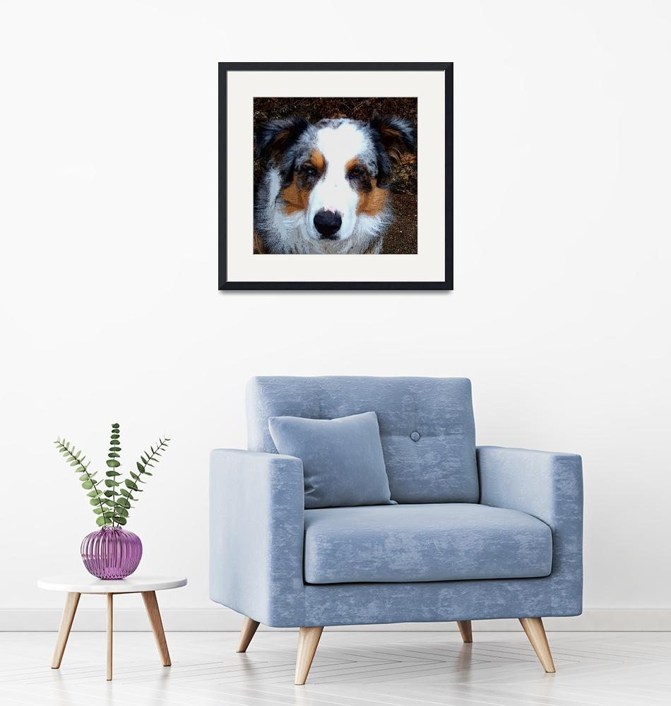 """""""""""Awesome"""" the herding collie""""  (2010) by DavidHensenPhotography"""