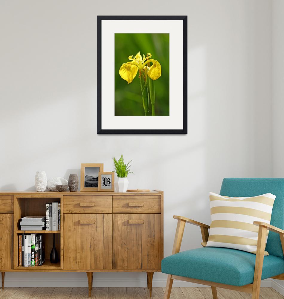 """Yellow Iris, (Iris pseudacorus) (36822-RDA)""  (2013) by rodjohnson"