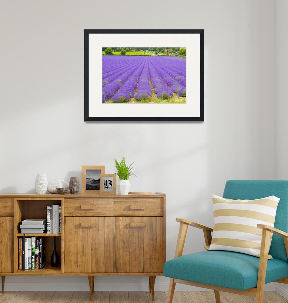 """1125 Lavender Fields Kent""  (2007) by jimhellier"