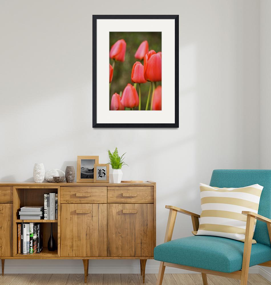"""""""Red Tulips""""  (2008) by nicolaus"""
