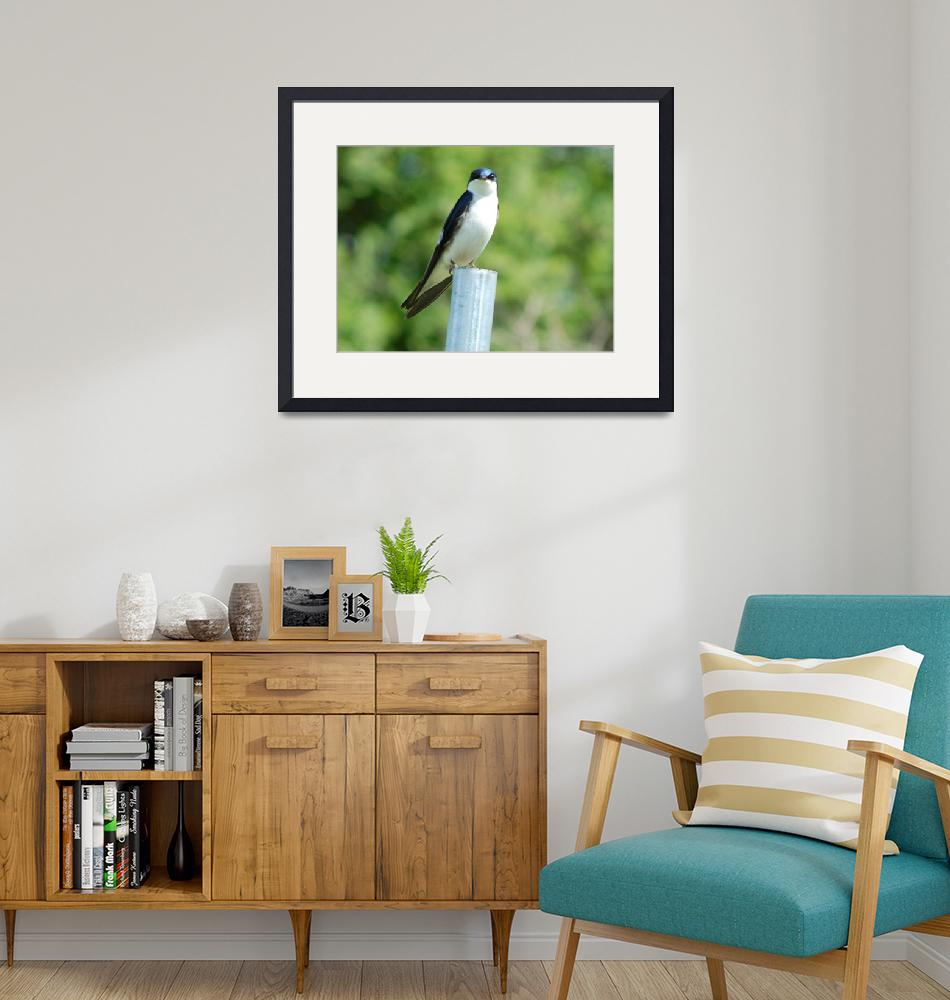 """""""Tree swallow 2""""  (2008) by BuddhabellyDave"""