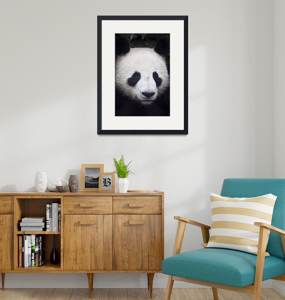 """Portrait of panda, China""  by DesignPics"