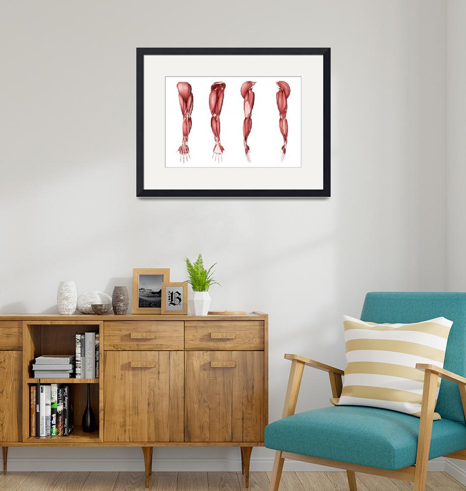 """""""Medical illustration of human arm muscles, four si"""" by stocktrekimages"""