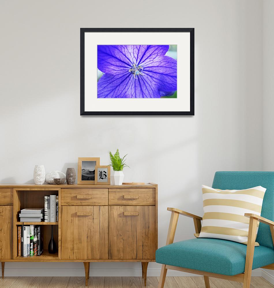 """""""Balloon Flower"""" (2010) by LBCPhotography"""