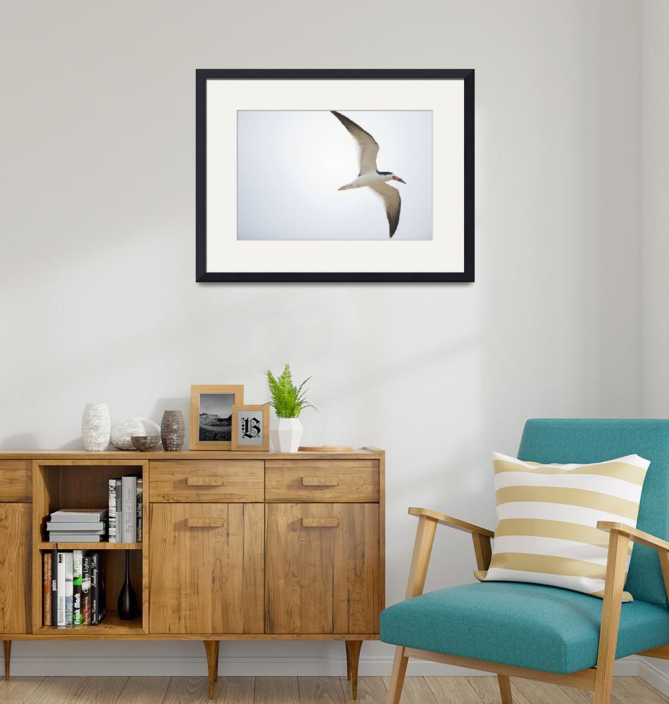 """Black skimmer Rynchops niger in flight Three Brot""  by Panoramic_Images"