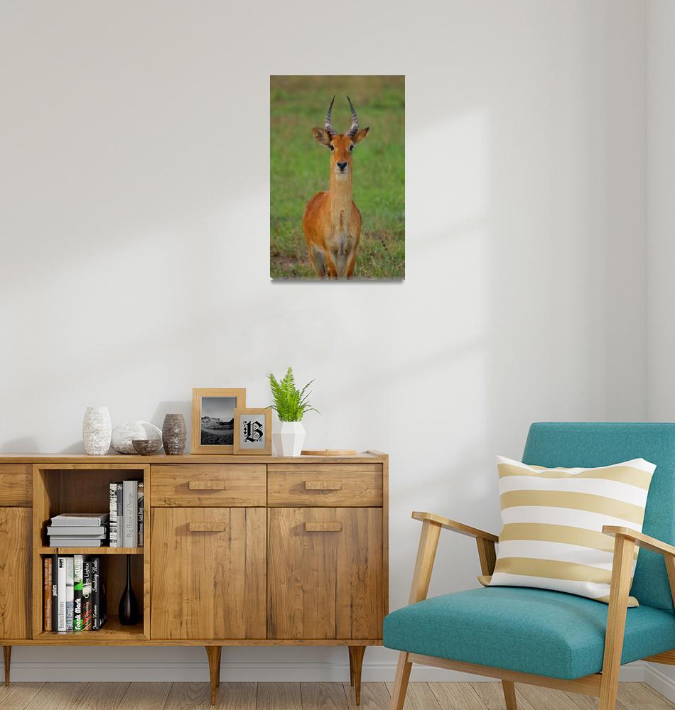 """""""Posing Reedbuck""""  (2009) by Andrea_Donaldson"""
