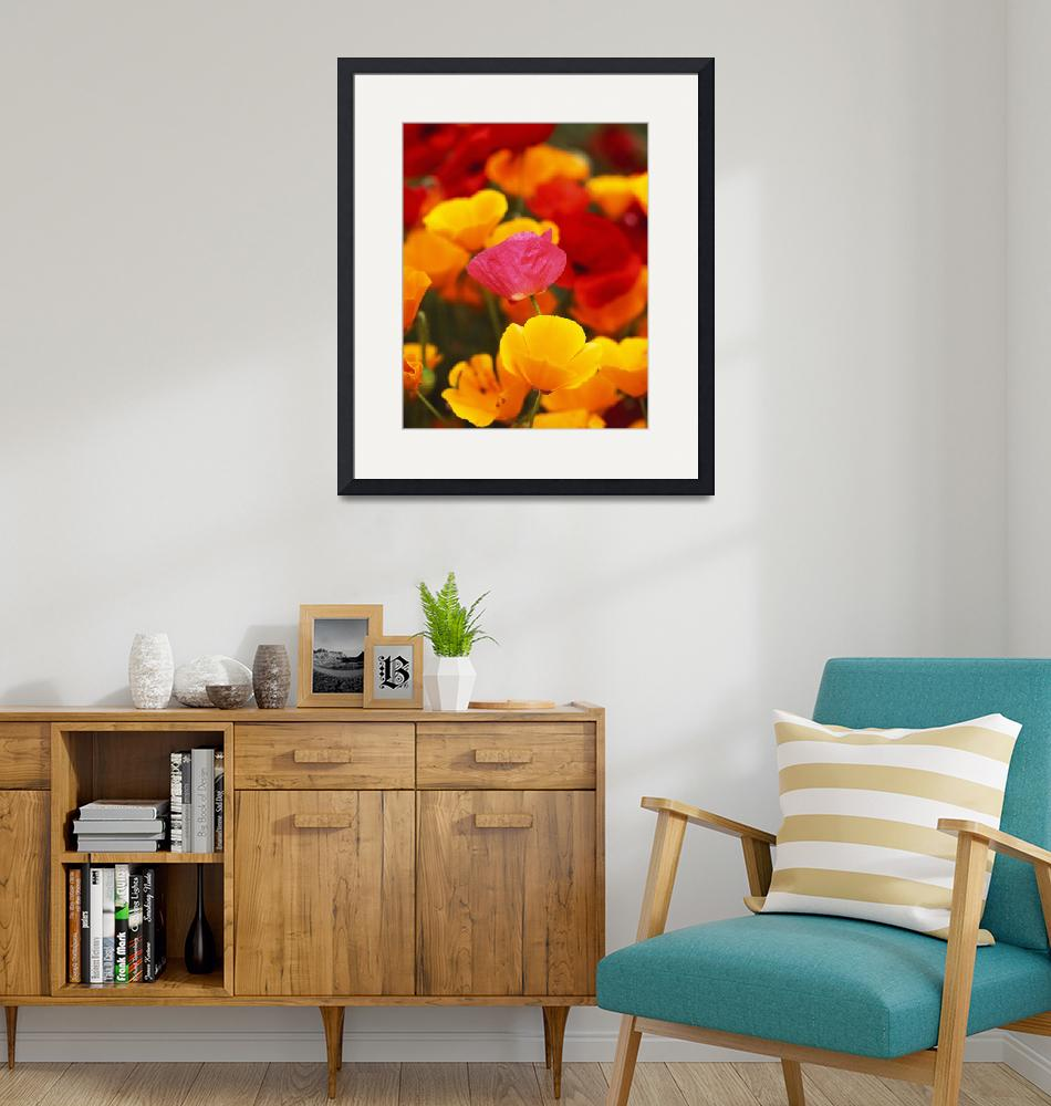 """""""California Golden Poppies (Eschscholzia californi""""  by Panoramic_Images"""